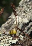 Polystachya adansoniae