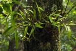 Polystachya albescens subsp. imbricata