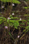 Polystachya dendrobiiflora