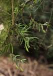 Angraecum conchiferum