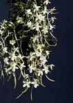 Aerangis appendiculata