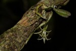 Mystacidium tanganyikense