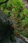 Tridactyle bicaudata