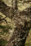 Tridactyle tridentata