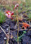 Eulophia clitellifera