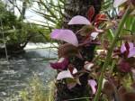 Eulophia horsfallii