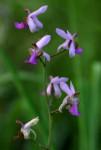Eulophia livingstoniana