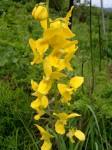 Eulophia speciosa