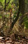 Eulophia subsaprophytica