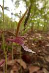 Eulophia venulosa