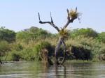 Ansellia africana