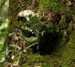 Peperomia bangroana