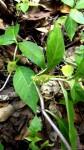 Dorstenia buchananii var. buchananii