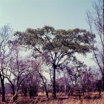 Ficus fischeri