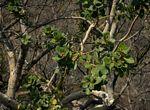 Ficus glumosa