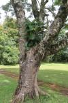 Ficus lutea