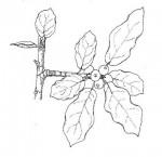 Ficus nigropunctata