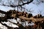 Ficus sansibarica subsp. sansibarica