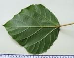 Ficus vallis-choudae