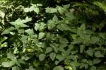 Laportea peduncularis subsp. peduncularis
