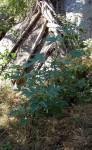 Girardinia diversifolia