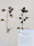 Pilea usambarensis var. usambarensis