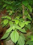 Boehmeria macrophylla