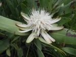 Protea angolensis var. angolensis