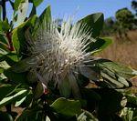 Protea angolensis var. divaricata