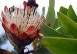 Protea caffra subsp. gazensis