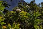 Protea gaguedi