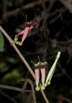 Tapinanthus oleifolius