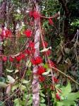 Globimetula mweroensis