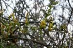 Erianthemum ngamicum