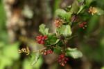 Helixanthera woodii