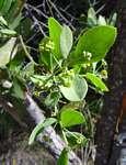 Osyris lanceolata