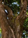 Osyridicarpos schimperianus
