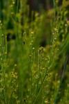 Thesium goetzeanum