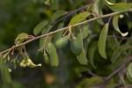 Ximenia americana var. microphylla