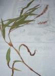 Persicaria madagascariensis
