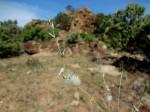 Sericorema remotiflora