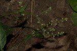 Pupalia micrantha