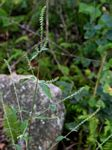 Achyranthes aspera var. sicula