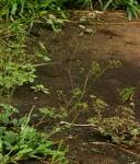 Boerhavia diffusa
