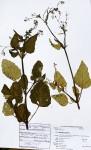 Boerhavia erecta