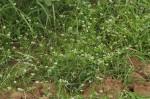 Limeum sulcatum var. sulcatum