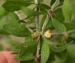 Pollichia campestris