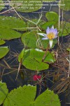 Nymphaea nouchali var. petersiana