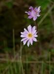 Anemone transvaalensis