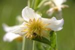 Clematis villosa subsp. kirkii